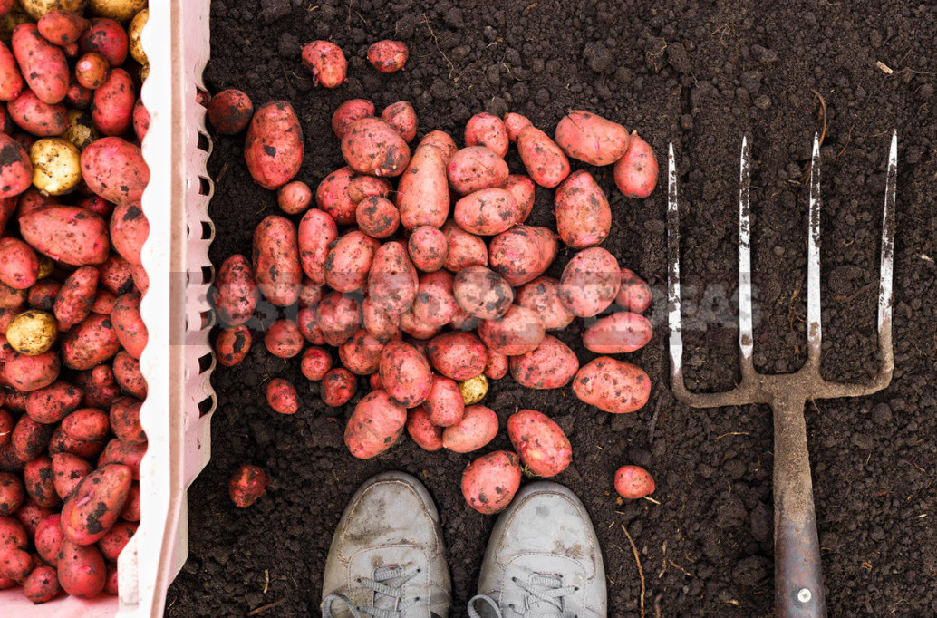 What you need to know the one who was going to dig potatoes. 9 parting advice 1 - How to Dig Potatoes: Tools and Tips for Harvesting