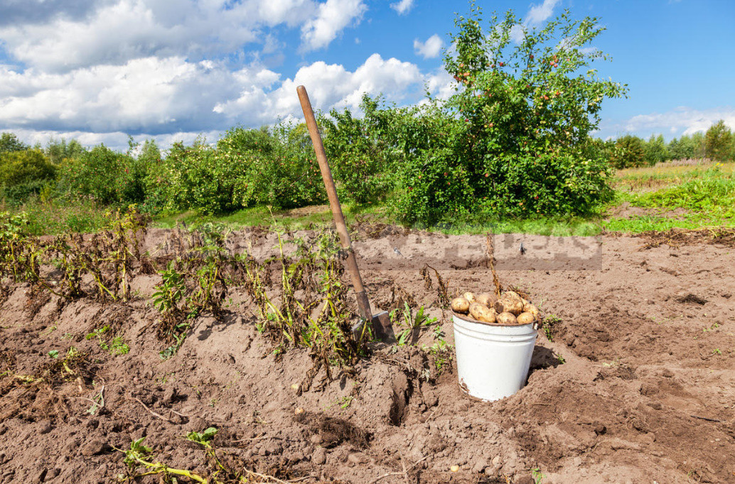 How to Dig Potatoes: Tools and Tips for Harvesting