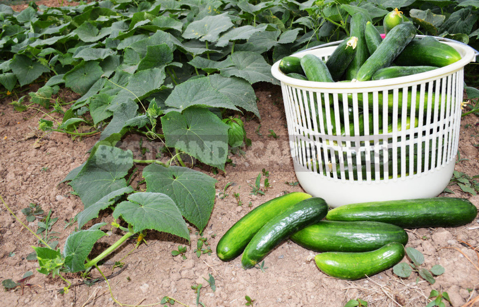 Why are Cucumbers Bitter? And they Have 5 Reasons. (Part 2)