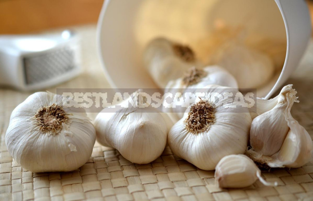 garlic in diseases of the joints and osteochondrosis - Garlic in Diseases of the Joints and Osteochondrosis