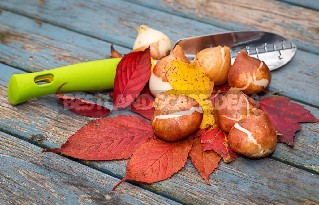 10 bulbs that need time to plant in the fall 1 - Ten Bulbs That Need Time to Plant In the Fall