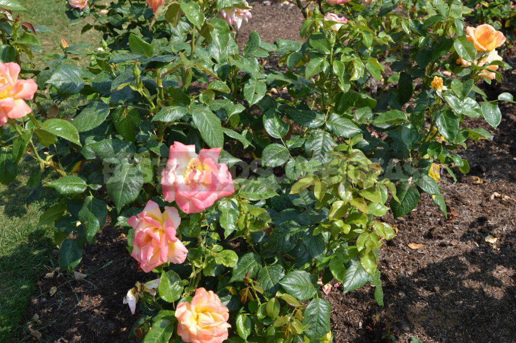 Caring For Roses: Changing Approaches to Agricultural Technology