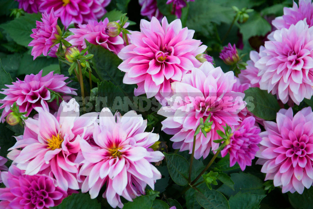 Dahlias When To Dig And How To Store Best Landscaping Ideas