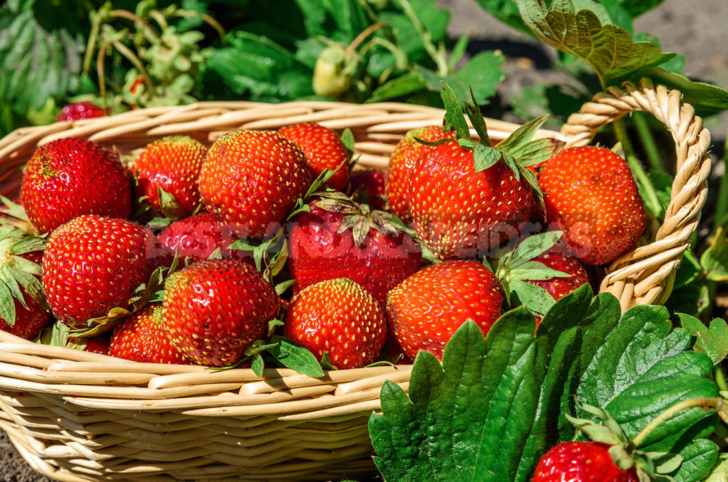 Do I Need to Trim Strawberries in Autumn