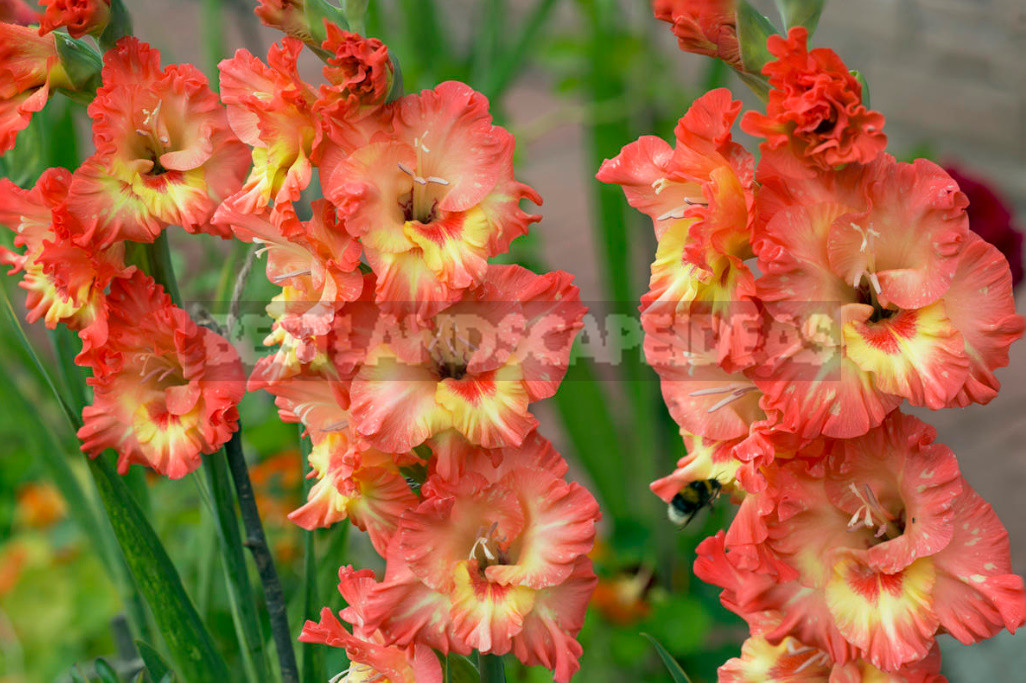 Gladioli after flowering when to dig and how to care 1 - Gladioli After Flowering: When to Dig And How to Care