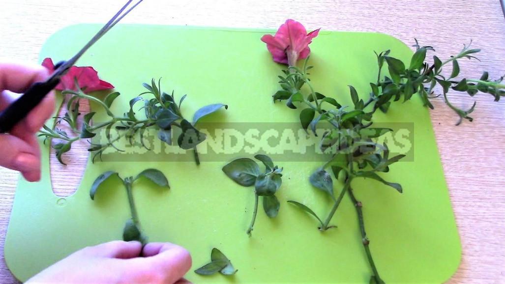 How to Keep Petunia Until Spring