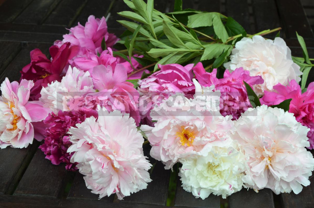 How to plant peonies then not to reap the fruits of their mistakes 1 - How to Plant And Place Peonies in the Garden