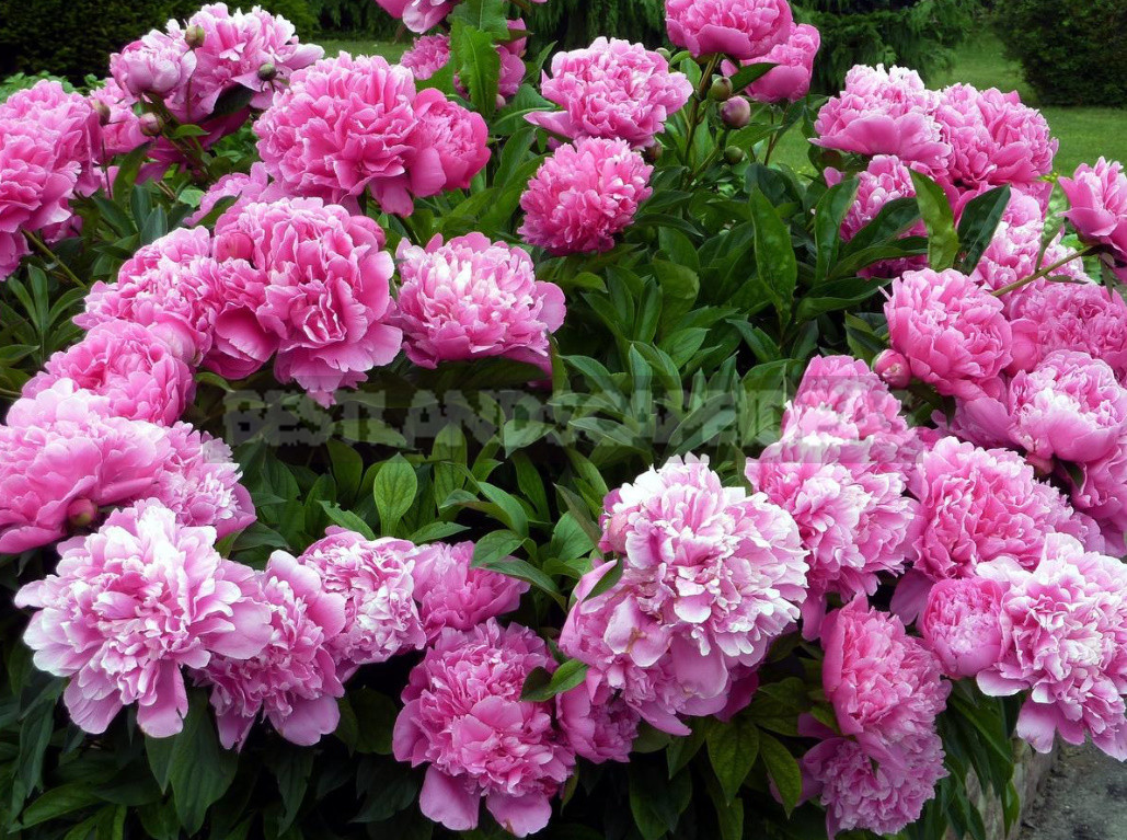 Peonies in landscape design 1 - Peonies in Landscape Design (Part 1)