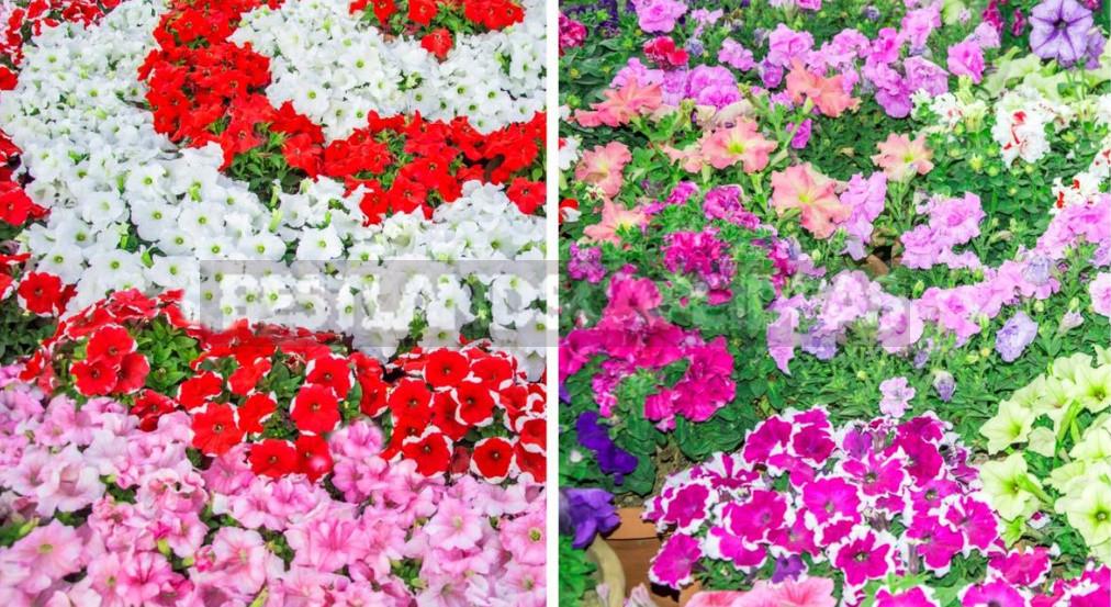 Petunia Garden Layout Ideas Best Landscaping Ideas