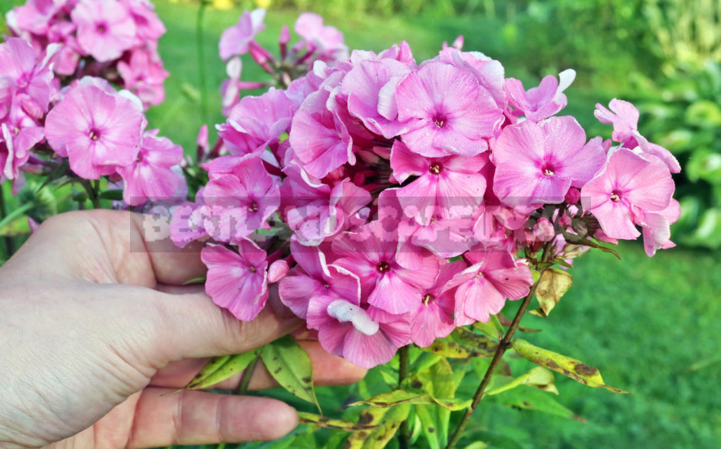 Phlox disease and pest control how to do without chemicals 1 - Phlox Disease And Pest Control: How to Do Without Chemicals