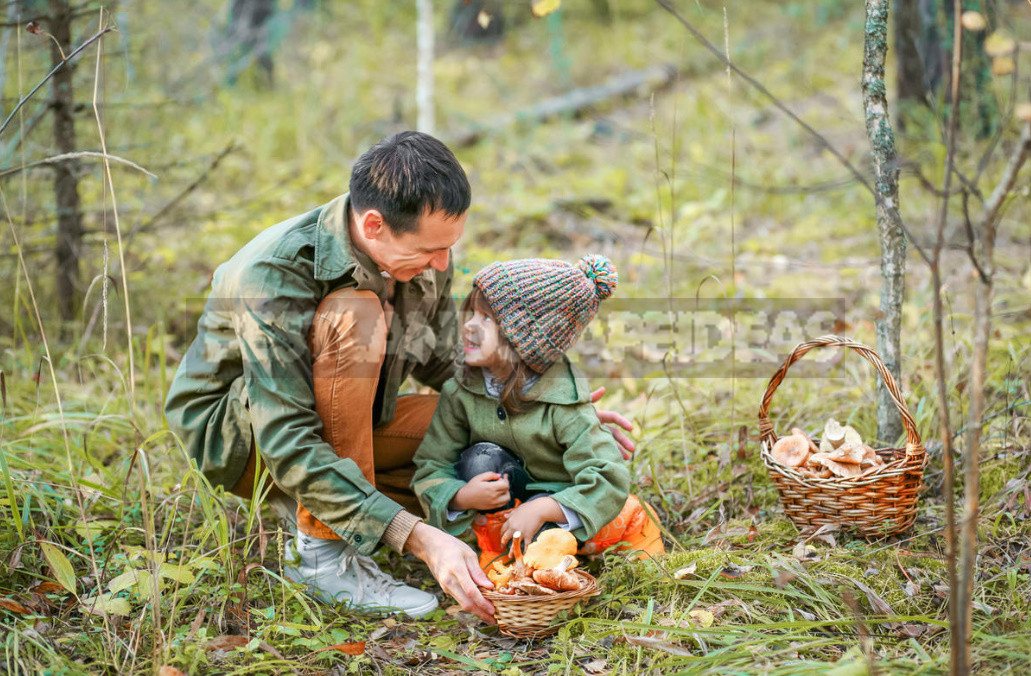 Royal salting mushrooms that appear in the forest in September 1 - Mushrooms for Salting: Names, Photos, Description, Similarity With Other Species (Part 1)