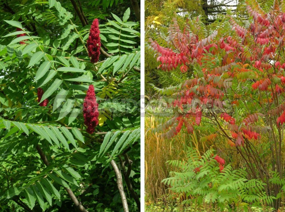 Sumac types features of cultivation and recipes 2 - Sumac: Types, Features of Cultivation And Recipes