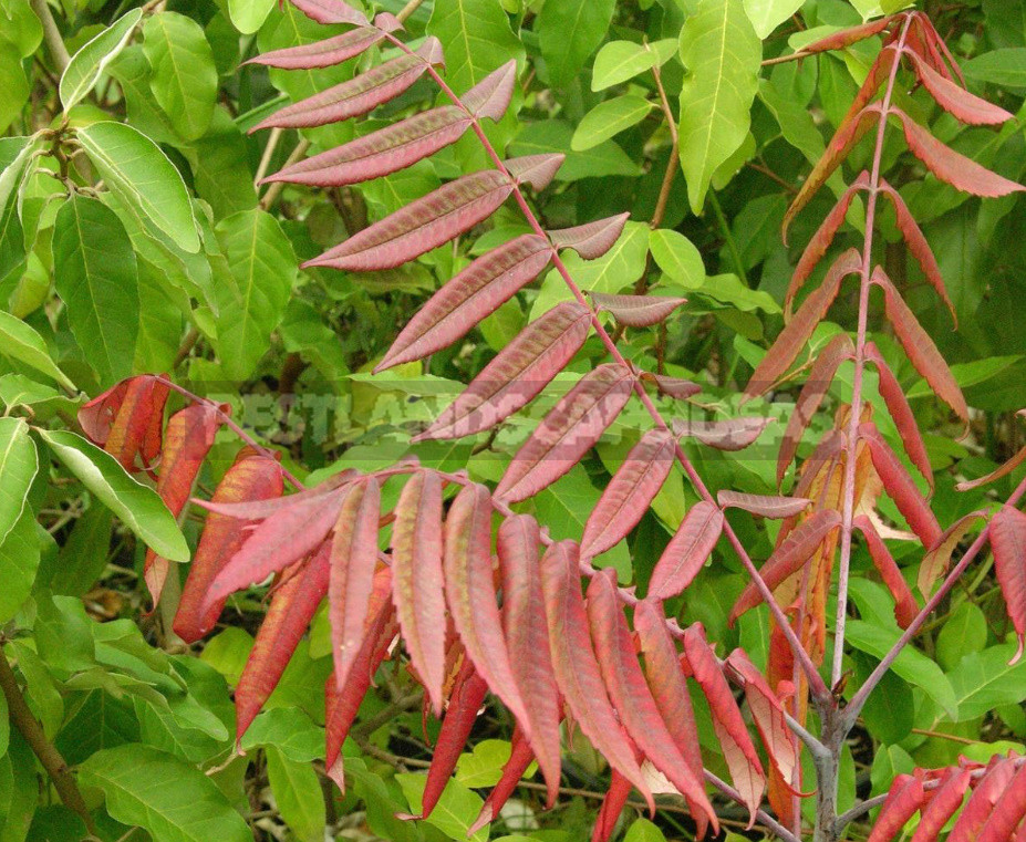 Sumac types features of cultivation and recipes 3 - Sumac: Types, Features of Cultivation And Recipes
