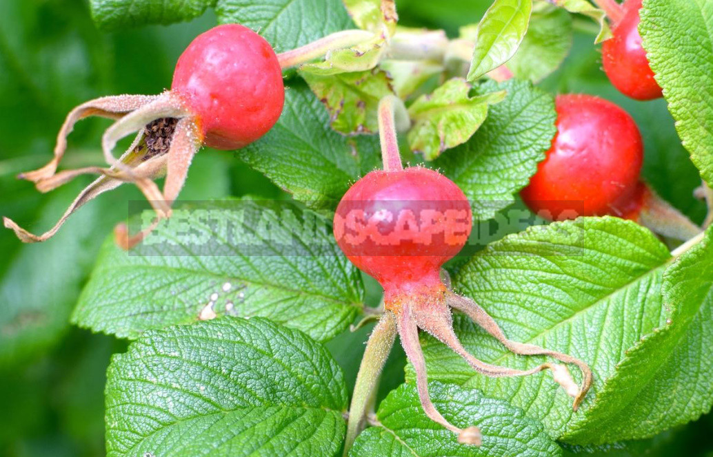 The benefits and harm of wild rose its healing properties and contraindications 4 - The Benefits And Harm of Wild Rose, Its Healing Properties And Contraindications
