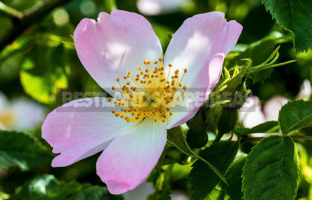 The Benefits And Harm of Wild Rose, Its Healing Properties And Contraindications
