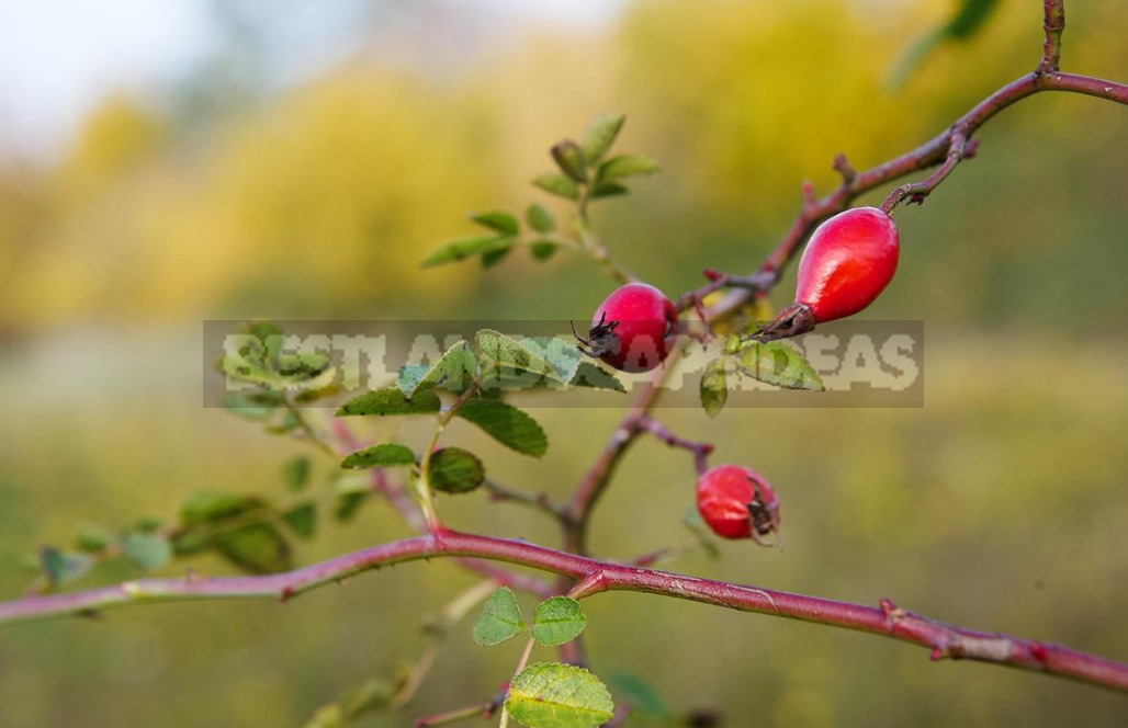The benefits and harm of wild rose its healing properties and contraindications 6 - The Benefits And Harm of Wild Rose, Its Healing Properties And Contraindications
