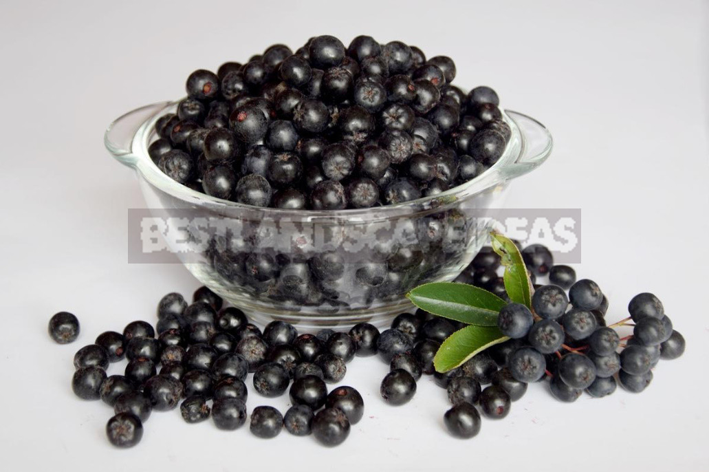 Useful Properties of Aronia Melanocarpa And Contraindications to its Use