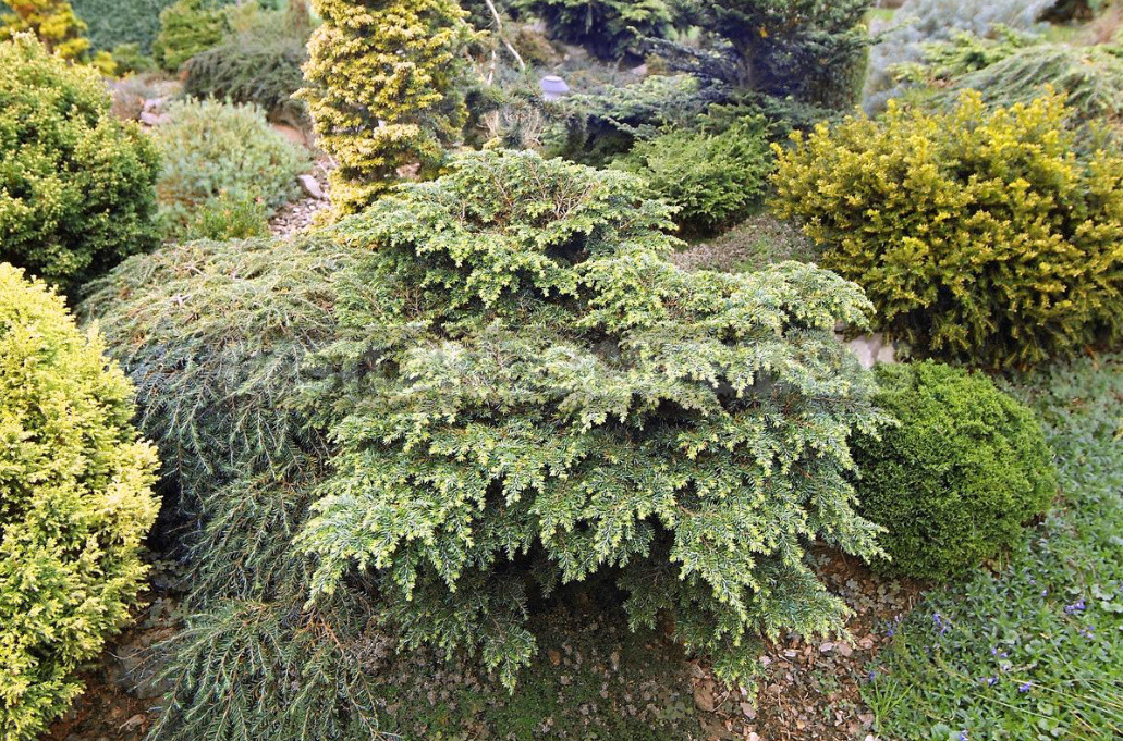 Coniferous miniatures. Dwarf varieties of coniferous plants and features of their cultivation 1 - Coniferous Miniatures. Dwarf Varieties of Coniferous Plants and Features of Their Cultivation.