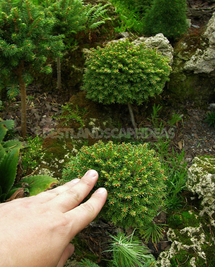 Coniferous Miniatures. Dwarf Varieties of Coniferous Plants and Features of Their Cultivation.