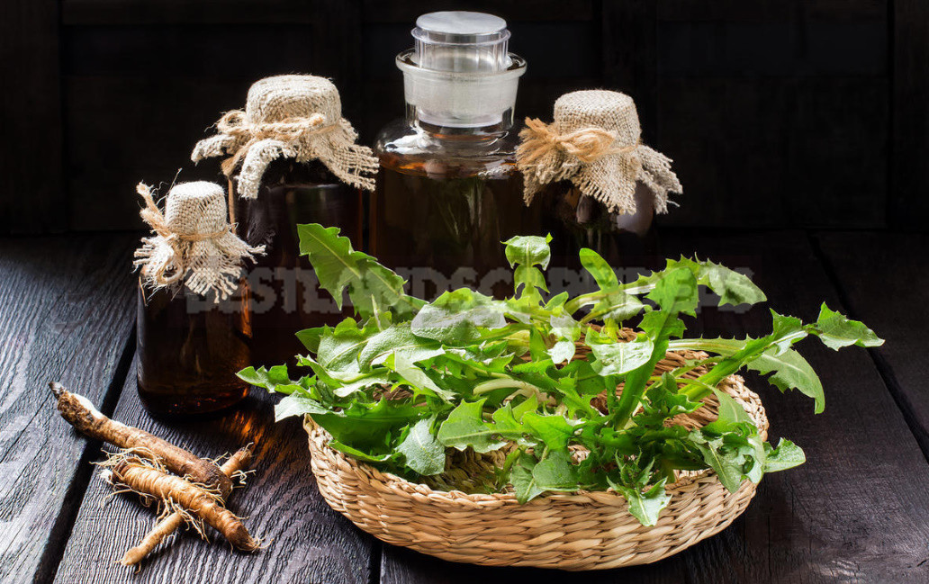 Dandelion Root Against Atherosclerosis - Dandelion Root Against Atherosclerosis