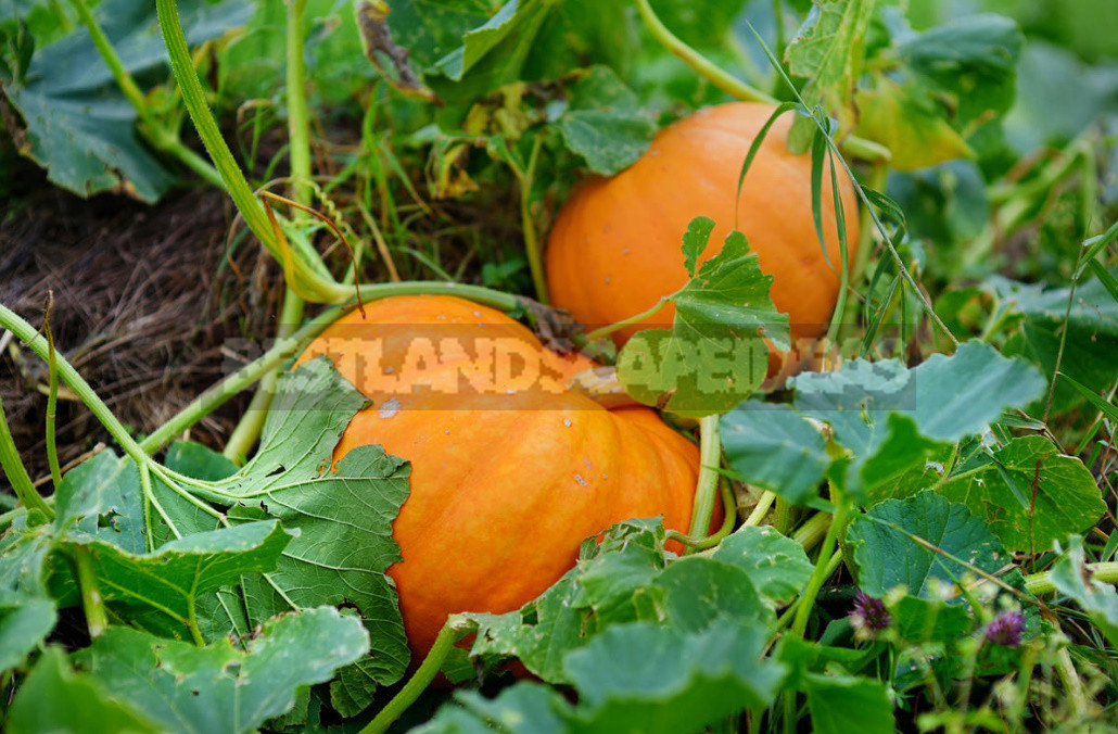 How to Prepare Pumpkin Seeds For Food And Planting