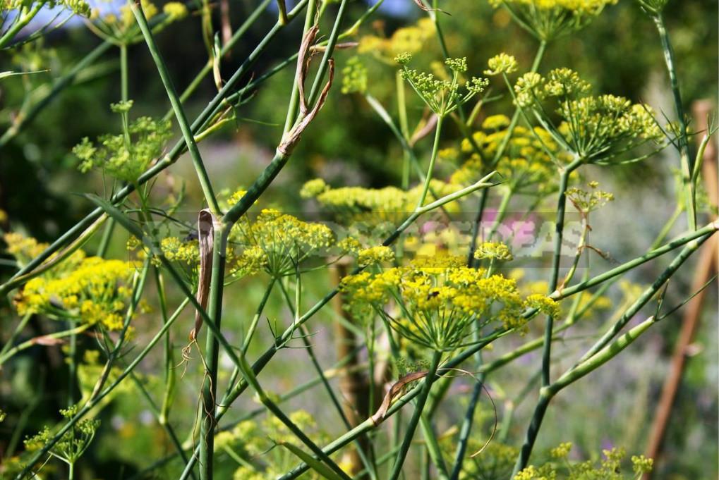 Openwork Umbrella Plants for Elegant Garden Compositions