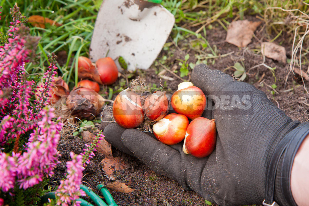 Planting bulbs in autumn if all the deadlines have passed 1 - Planting Bulbs in Autumn: if All the Deadlines Have Passed