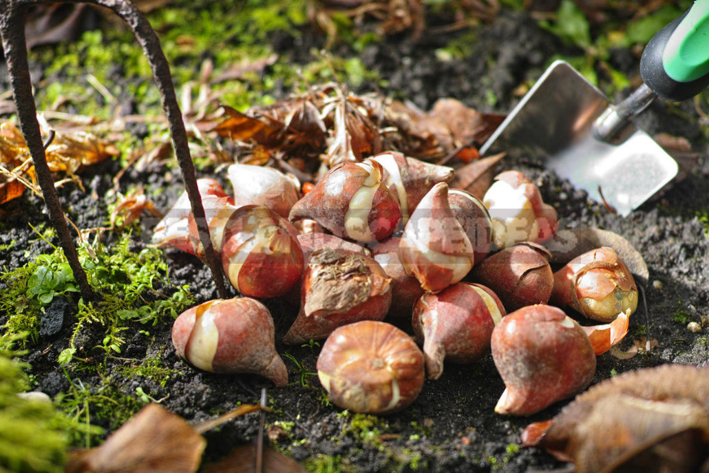 Planting Bulbs in Autumn: if All the Deadlines Have Passed
