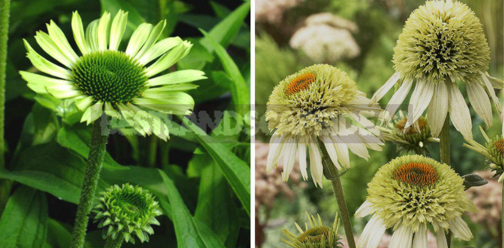 Rare Visitors of Flower Beds: Unusual Perennials