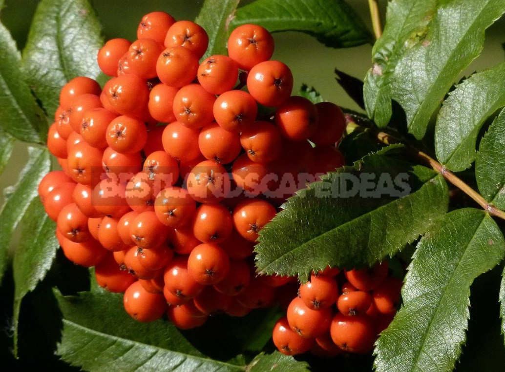 Rowan berries to strengthen the immune system - Rowan Berries to Strengthen the Immune System