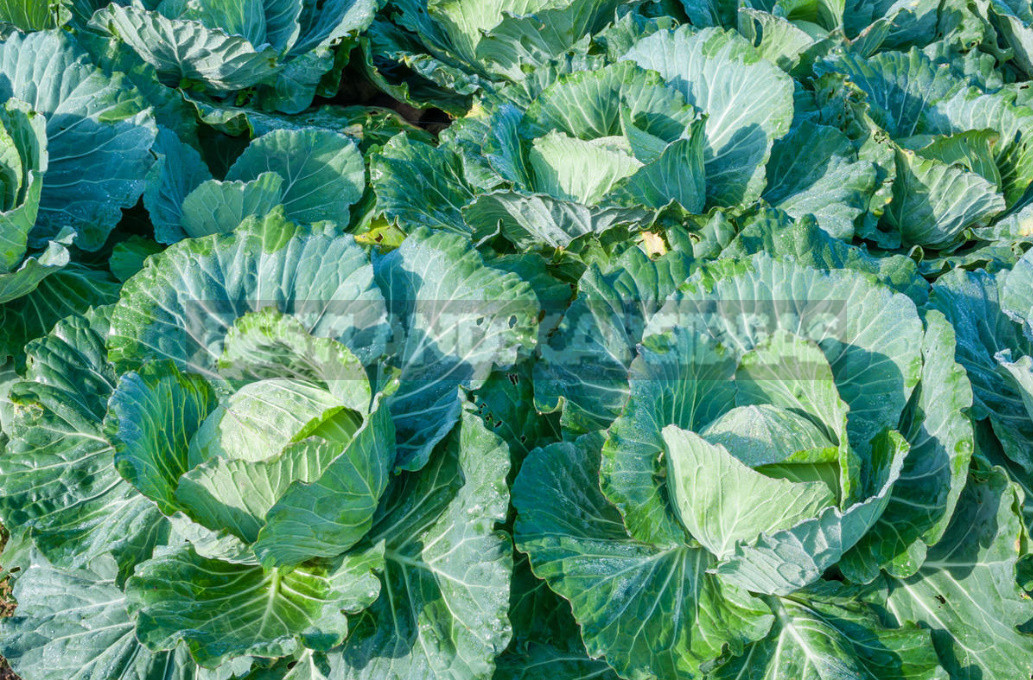 Sowing Cabbage For the Winter - a Gamble or an Effective Method?
