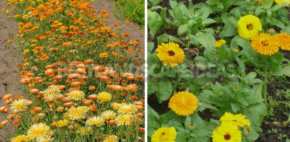 Terry Varieties of Garden Flowers: Pros and Cons, Review, Photos