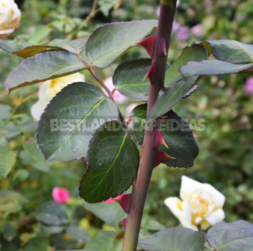 Three ways to shelter roses for the winter honestly about the advantages and disadvantages of each 3 - Three Ways to Shelter Roses For the Winter: Honestly About the Advantages And Disadvantages of Each