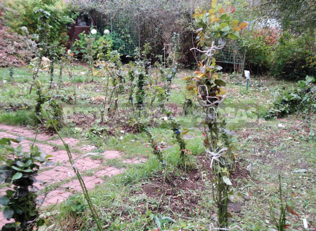 Three ways to shelter roses for the winter honestly about the advantages and disadvantages of each 4 - Three Ways to Shelter Roses For the Winter: Honestly About the Advantages And Disadvantages of Each