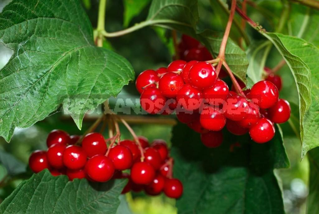 Medicinal Properties of Viburnum Berries And Their Application