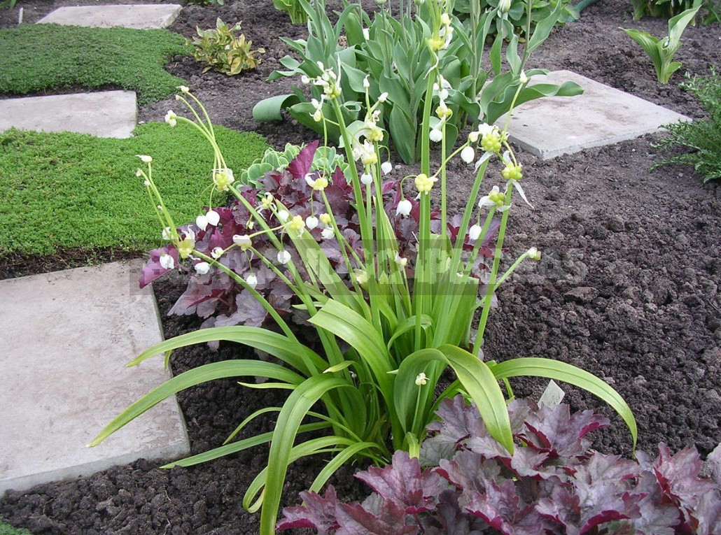 Alliums In the Garden: Features Of Growing Decorative Onion