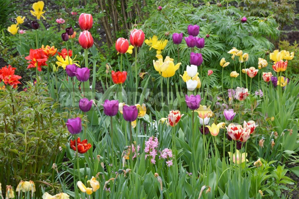 Compositions Of Bulbs For Flower Beds And Flower Beds: Planting Techniques (Part 1)