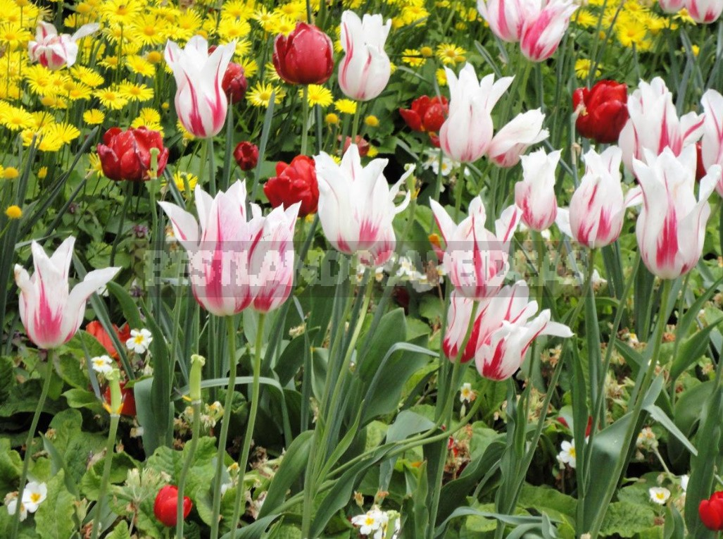 Compositions Of Bulbs For Flower Beds And Flower Beds: Planting Techniques (Part 2)