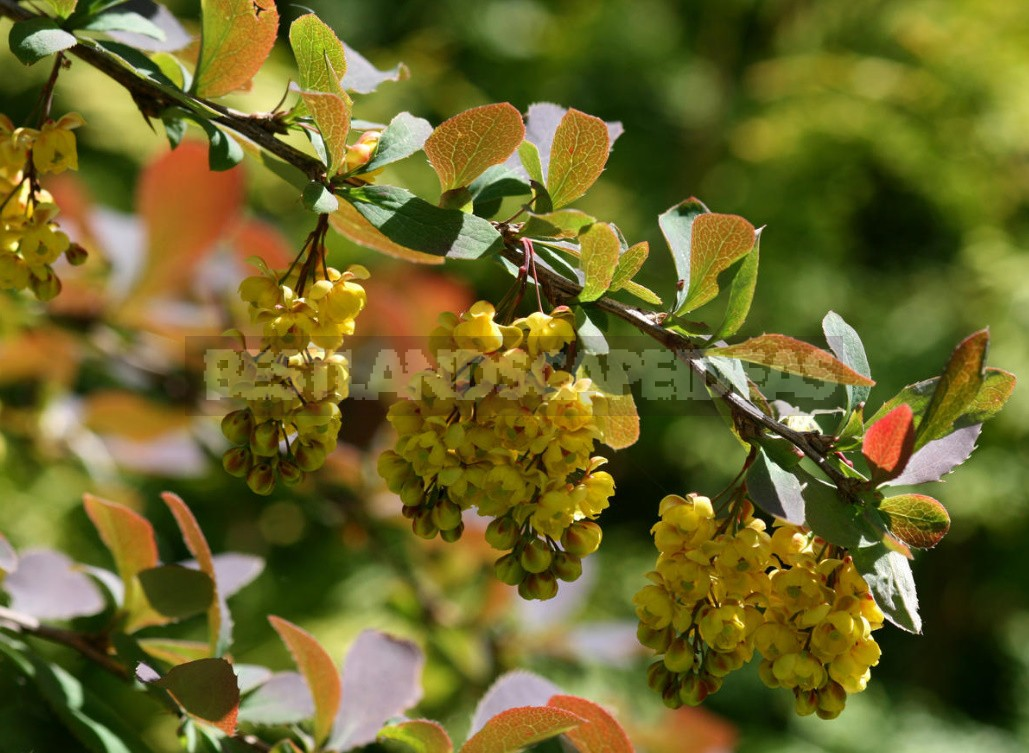 Decorative Shrubs For The Garden: Photos, Flowering Time (Part 1)