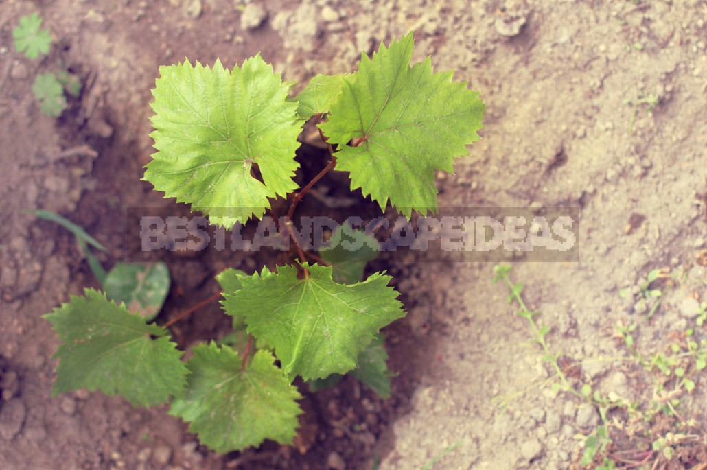 How To Plant Grapes (Part 1)