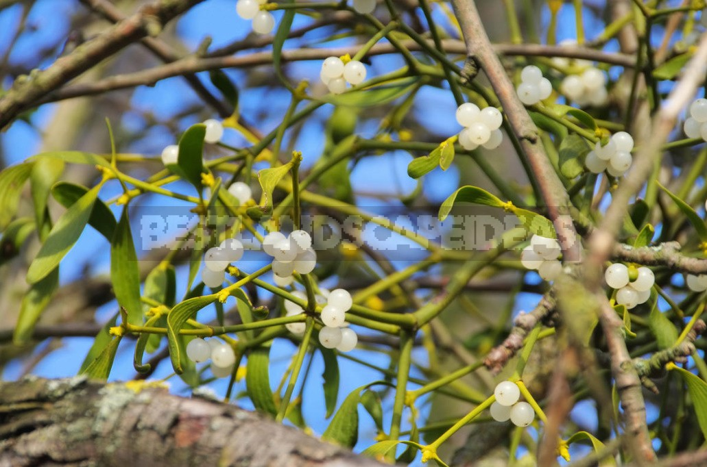 Plant Symbols: Mistletoe, Lily And World Tree