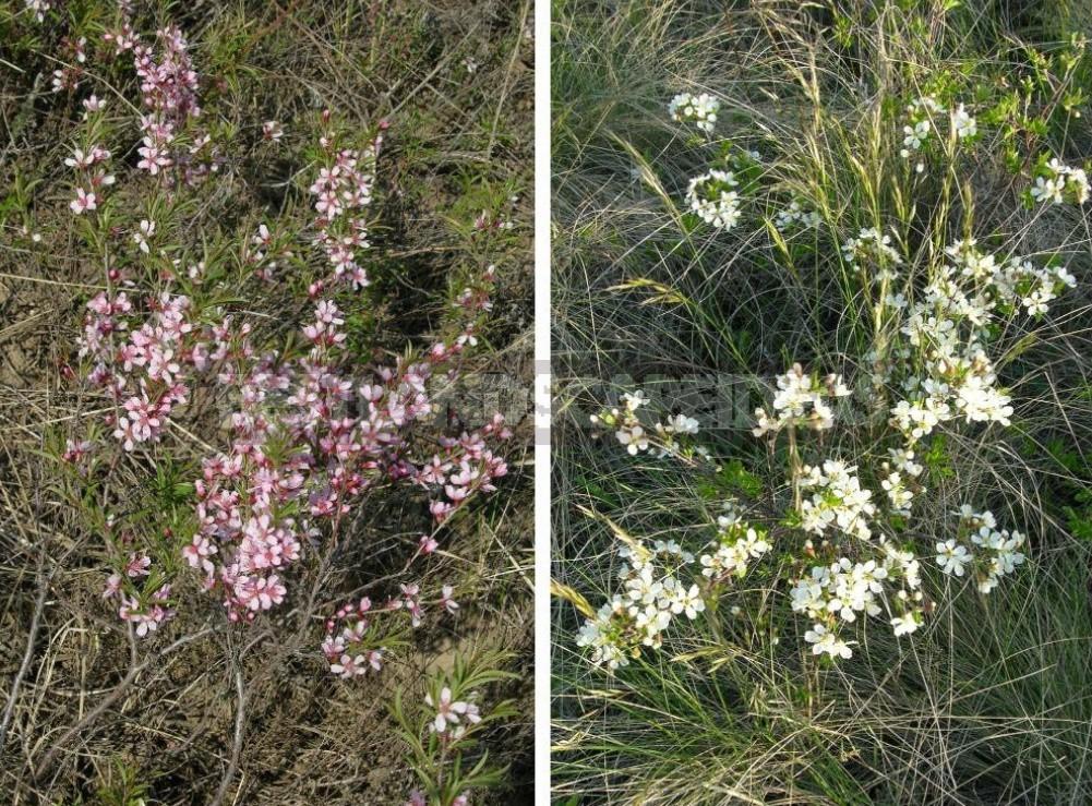 Plants of the Steppe: Grains, Flowers, Shrubs