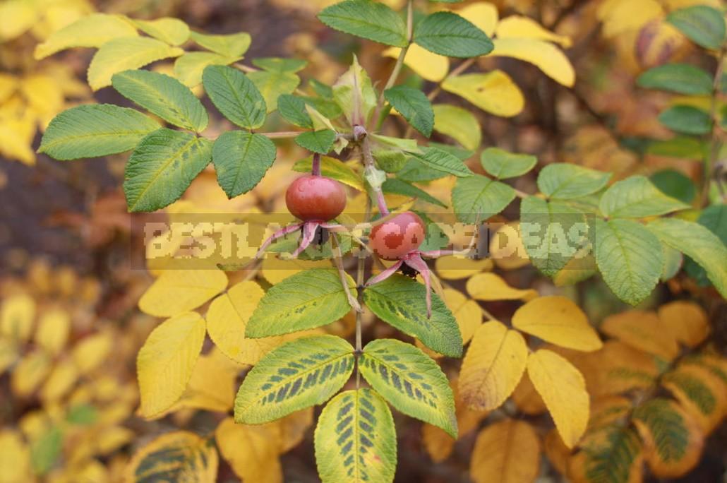 Rosehip: Species And Useful Properties (Part 1)