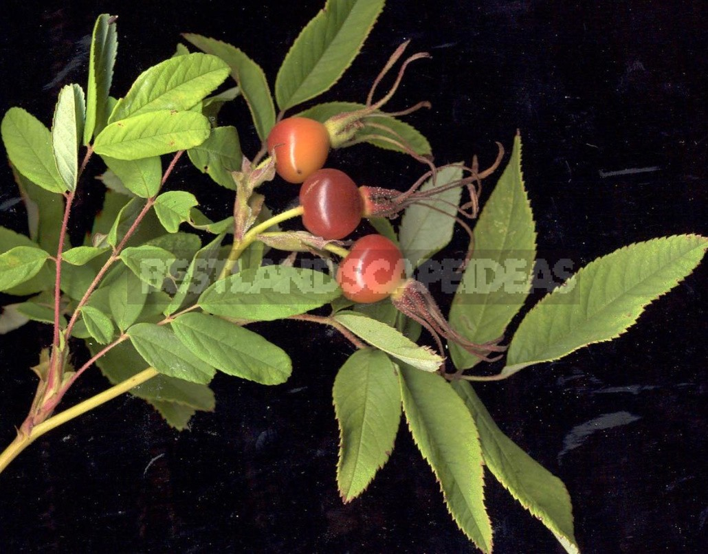 Rosehip: Species And Useful Properties (Part 2)