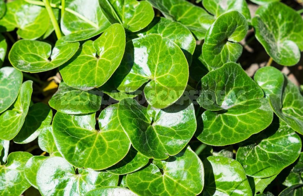 Shade-Loving Groundcover Plants For Garden