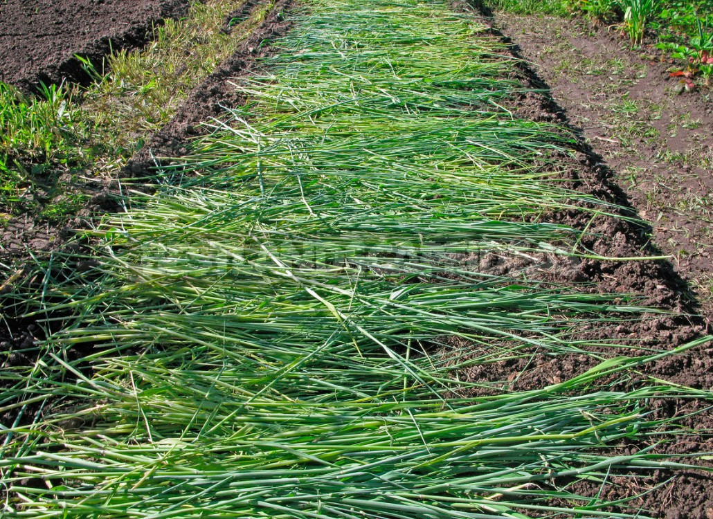 Types of Green Manures, Their Use And Timing Of Planting (Part 1)