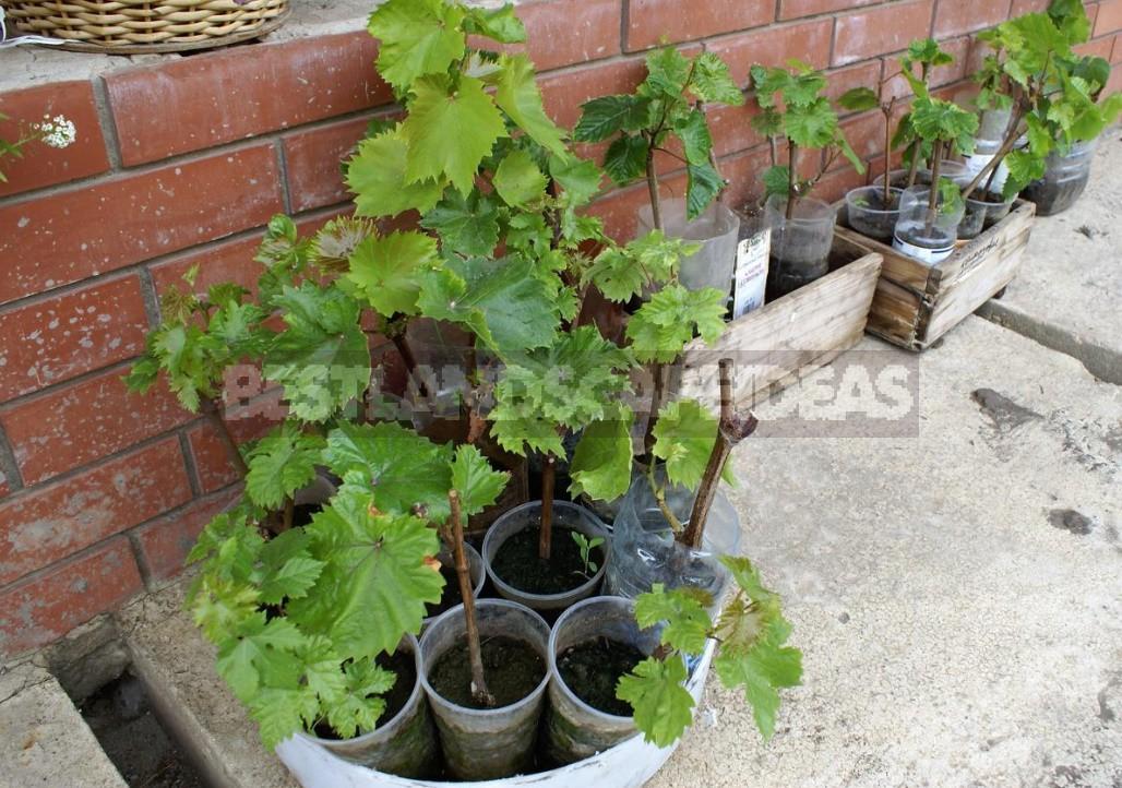 Unique Ways of Planting Grapes