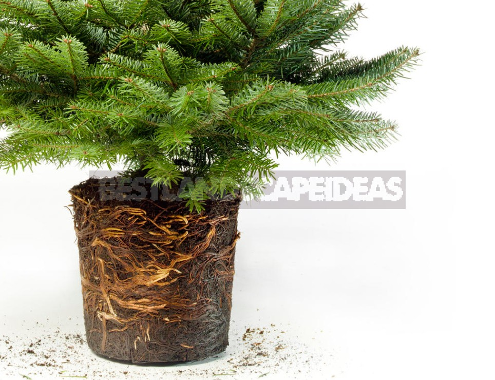 How To Save a Christmas Tree In a Pot, Bought In the Store