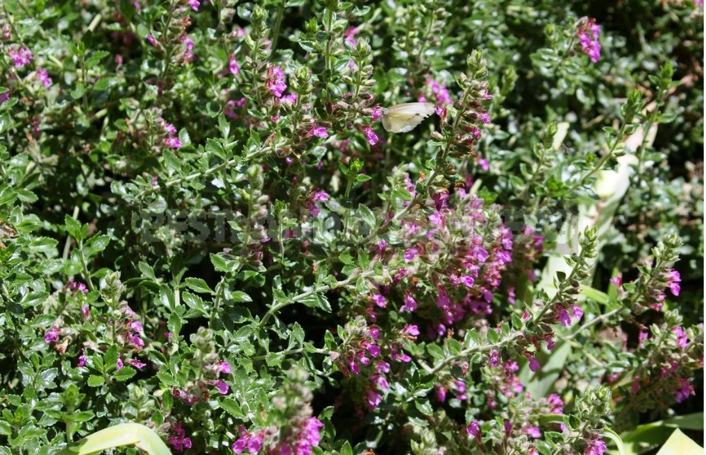Garden Vintage Is Back In Fashion: The Return Of The Beautiful Teucrium