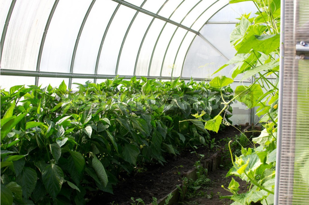 The Main Problems When Growing Peppers: How To Identify And Cure All Diseases